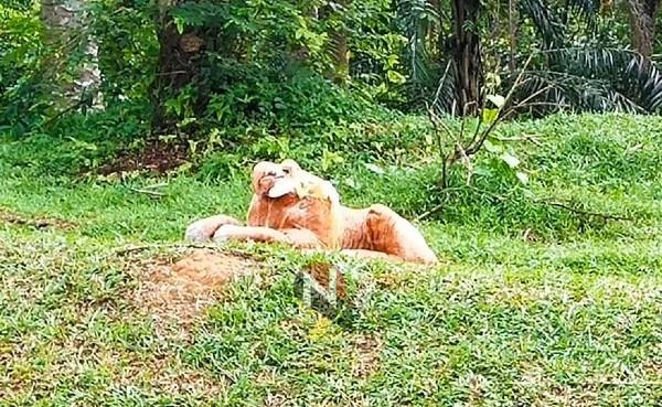 老虎塑像不知被谁设在草坡,网民猜测可能是为了吓阻四处奔走的猴群。(照片取自Negeri Sembilan Kini)