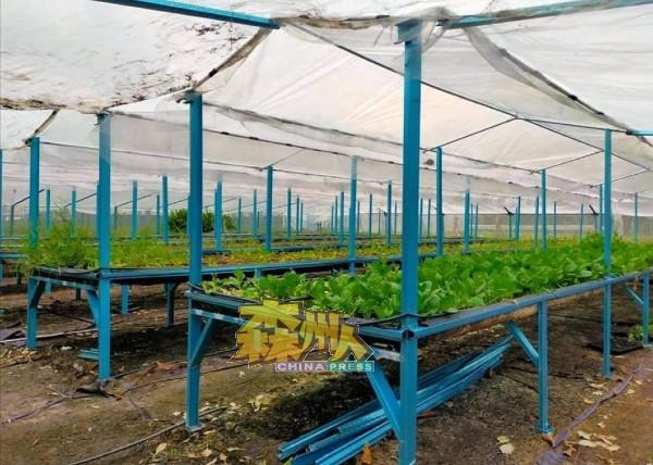 农夫有苦难言,目前处于全面封锁期间,再加上近日马口巴刹关闭,导致其种植的蔬菜批发不出,生计大受影响。